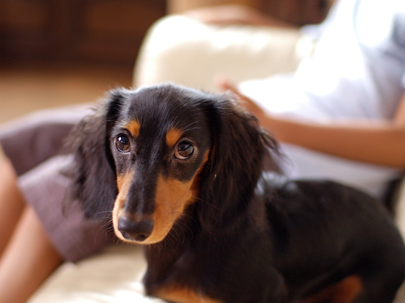 Brown long haired dachshund